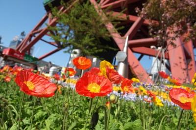 テレビ塔をバックに赤い花